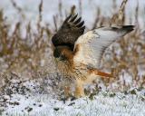 Ret Tail Hawk in Snow.jpg
