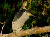 Black Crowned Night Heron Late Afternoon