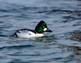 190 Common Goldeneye Male