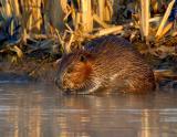 _JFF1381 Beaver Shore eat L.jpg