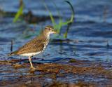 spotted_sandpiper_