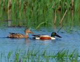 222 _JFF5740 Northen Shoveler Pair