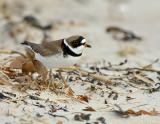 JFF5241 Semipalmated plover male