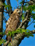 _JFF6166 Red Tail Hawk Looking at Me.jpg
