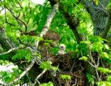 _JFF6198 Red Tail Hawk Female and Chick