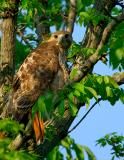_JFF6506 Mom Hawk Looking.jpg