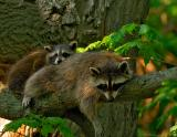 _JFF7071 Raccon Moom Slumped Baby Flat Back Looking.jpg