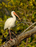 290_JFF6349 White Ibis at Sunset.jpg