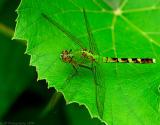 _JFF8829 green Dragonfly.jpg