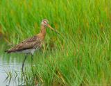 JFF1094 Black Tail Godwit