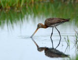 JFF1115 Black Tail Godwit