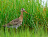 JFF1140 Black Tail Godwit Grass Water Droplerts.jpg