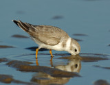 JFF1713 Piping Plover Non Breeding Plumage
