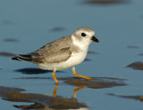 JFF1717 Piping Plover Non Breeding Plumage