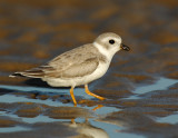 JFF1720 Piping Plover Non Breeding Plumage