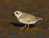 JFF1726 Piping Plover Non Breeding Plumage