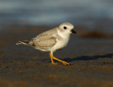 JFF1758 Piping Plover Non Breeding Plumage