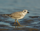 JFF1803 Piping Plover Non Breeding Plumage