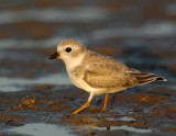 JFF1850 Piping Plover Non Breeding Plumage