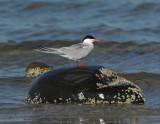 _JFF3685 Common Tern ~ Bay Side Rock
