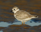 JFF1741 Piping Plover Non Breeding Plumage