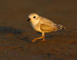 JFF1900 Piping Plover Non Breeding Plumage