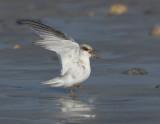 _JFF3010 Least Tern Hatch Year Begging