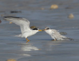 _JFF3019 Least Tern Feeding Hatch Year