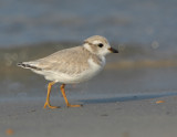JFF3289 Piping Plover Hatch Year