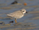 JFF3331 Piping Plover Hatch Year