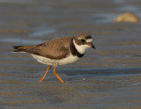 JFF3363 Semipalmated Plover Feeding Bay Side