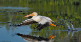 _NW83137 White Pelican.jpg