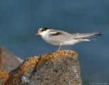 _JFF8646 Juvenile Common Tern