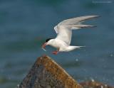 _JFF8661 Common Tern Landing With Prey