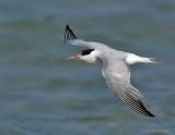 _JFF8692 Common Tern Flight ~Wings Top