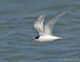 _JFF8735 Possible Roseate Tern in Flight