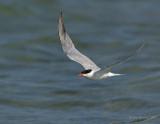 _JFF8738 Common Tern Flight
