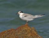 _JFF8739 Common Tern Juvenile