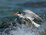 _JFF8769 Common Tern Juvenile Caught in Surf
