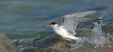 _JFF8773 Common Tern Juvenile Caught in Surf