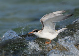 _JFF8780 Common Tern Juvenile Caught in Surf