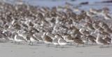 _JFF4309 Mixed Shorebirds in Fall