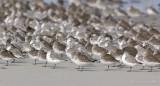 _JFF4312 Mixed Shorebirds in Fall