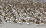 _JFF4319 Mixed Shorebirds in Fall