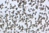 _JFF4403 Mixed Shorebirds in Fall