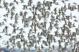 _JFF4415 Mixed Shorebirds in Fall
