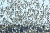 _JFF4417 Mixed Shorebirds in Fall