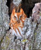 DSC_6492 Red Morph Screech Owl