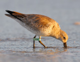 red_knots_2