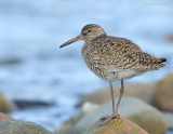 NAW2419 Willet